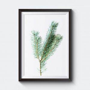 Poster naturbild med tallkvist.
